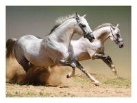 Decor Kafe Running Horse Vinyl Poster-(code-dkvp005l)