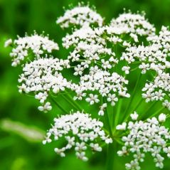 Gift Or Buy Flora Fields Herb Seeds: Anise