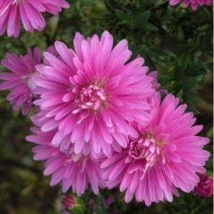 Flora Fields Flower Seeds: Aster (Michaelmas Daisy)  Giants Of California