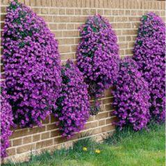 Flora Fields Flower Seeds: Aubretia (Rock Cress)  Large Flowered Hybrid