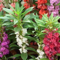 Flora Fields Flower Seeds: Balsam  Camellia Flower Mix