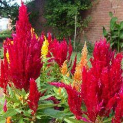 Flora Fields Flower Seeds: Celosia (Coxcomb)  Plumosa Forest Fire