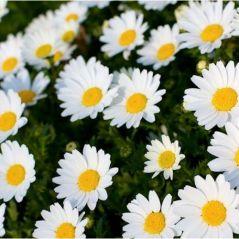 Flora Fields Flower Seeds: Chrysanthemum  White Majestic