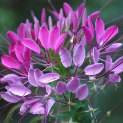 Flora Fields Flower Seeds: Cleome (Spider Flower)  Violet Queen