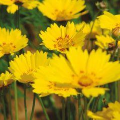 Flora Fields Flower Seeds: Coreopsis (Calliopsis)  Mayfield