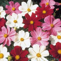 Flora Fields Flower Seeds: Cosmos  Sensation Mix