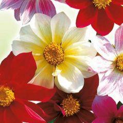 Flora Fields Flower Seeds: Dahlia  Beauty Mix