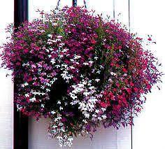 Flora Fields Flower Seeds: Lobelia Fountain Mix