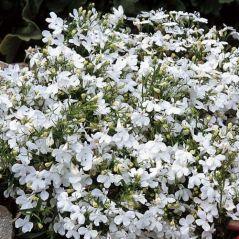 Flora Fields Flower Seeds: Lobelia White Lady