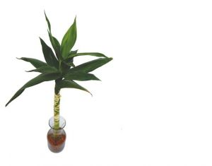 Buy Green Plant Indoor Lucky Bamboo In A Vase Online | Best