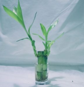 Green Plant Indoor Lucky Bamboo In A Vase