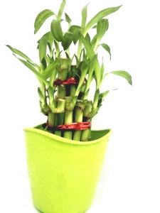 2 Layer Long Stalks Lucky Bamboo In Blossom Pot