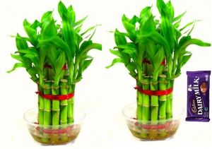 2 Layer Lucky Bamboo Plants (set Of 2 Pcs)