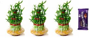 3 Layer Lucky Bamboo Plant (set Of 3 Pcs)
