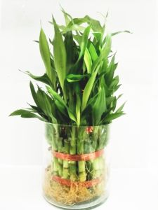 3 Layer Lucky Bamboo Plants With Pot