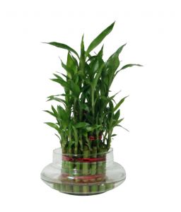 3 Layer Lucky Bamboo Plant With Pot