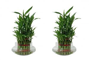 3 Layer Lucky Bamboo Plant (set Of 2 Pcs)