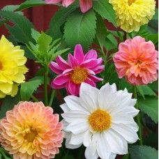 Flora Fields Flower Seeds: Dahlia Figaro Mix