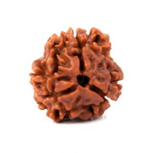 Nepali 3 Mukhi Rudraksha Three Face Rudraksh Lab Certified Original