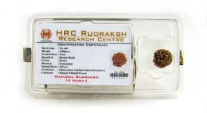 4 Mukhi Rudraksha Lab Certified/tested
