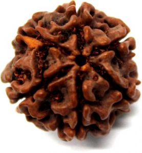 Certified Enerziged Natural 6(six) Mukhi Rudraksha Original