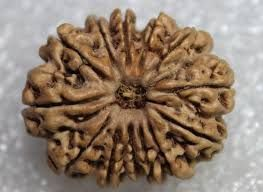 Faith & Beliefs - Sobhagya 21mm 13 Mukhi Natural Rudraksha Bead From Nepal