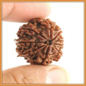 21mm Natural Nine Mukhi Rudraksha From Nepal