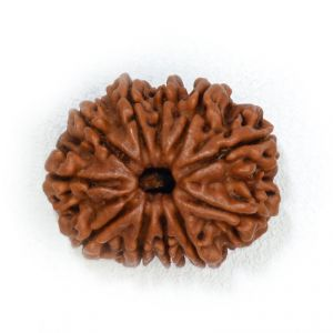 21mm - Eleven Faced Natural Rudraksha Beads From Nepal
