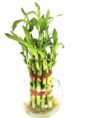 Buy 2 Layer Long Stalks Lucky Bamboo In Pot online