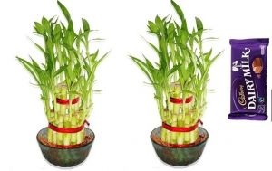 Buy 2 Layer Lucky Bamboo Set Of 2 PCs online
