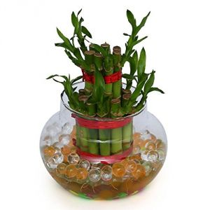 Buy 2 Layer Lucky Bamboo online