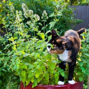 Buy Catnip (catswort/catmint) online