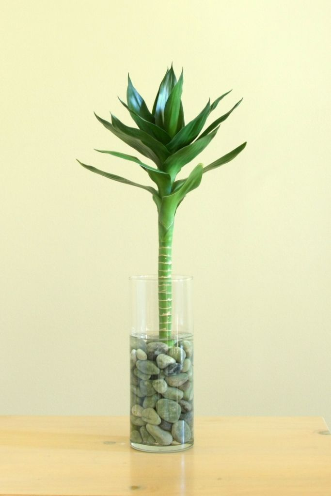 buy lotus bamboo plants online best prices in india rediff shopping