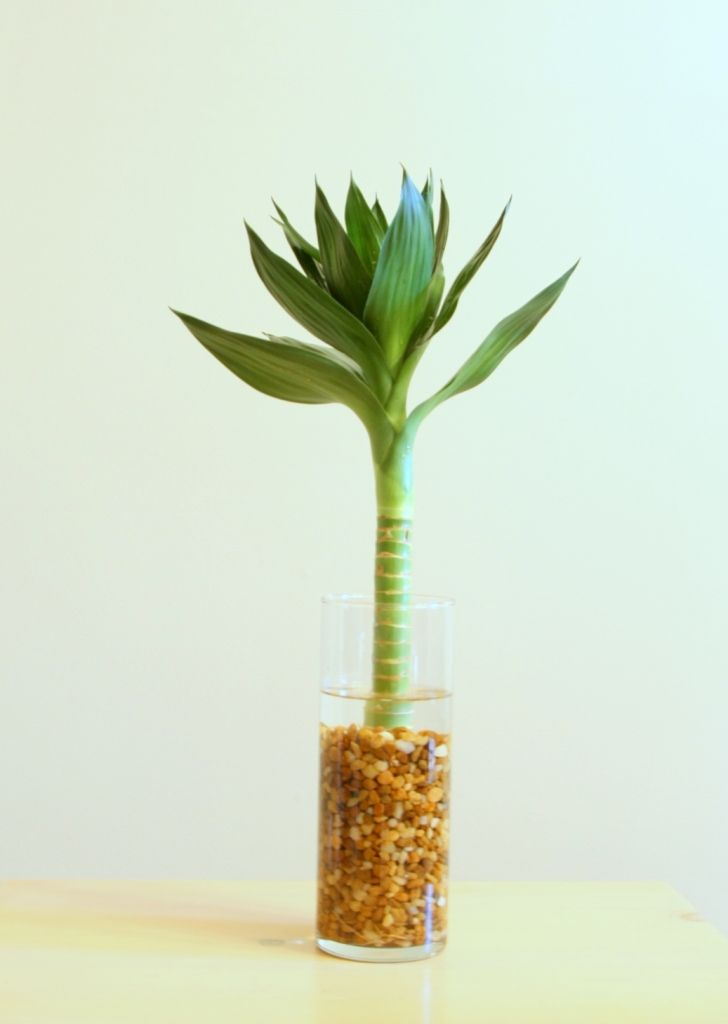 Buy Lotus Bamboo Plants online