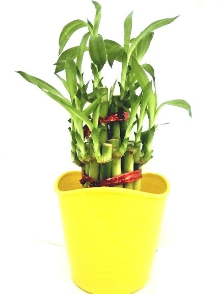 Buy 2 Layer Long Stalks Lucky Bamboo In Blossom Pot online