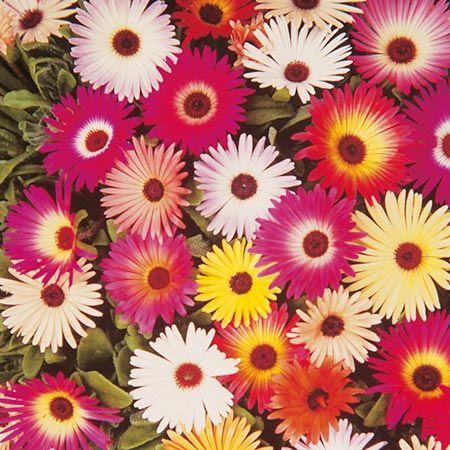 Buy Mesembryanthemum (ice Plant) - Carpet Mix online