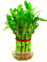 Buy Feng Shui 2 Layer Lucky Bamboo Plant For Goodluck Premium Quality online
