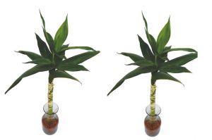 Lotus Bamboo Plants (Set Of 2 PCS)